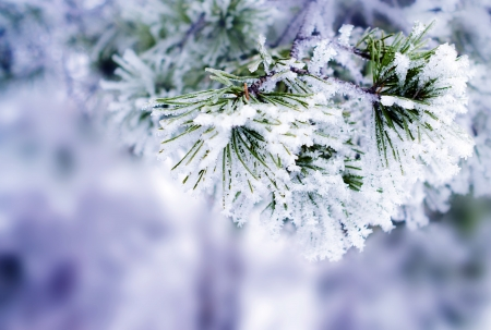 winter toned in blue background with green christmas pine tree branch in snow and ice  selective focus  photo