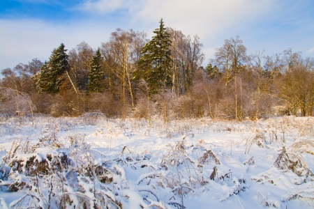 clody: frozen trees in snow after snowfall on blue clody sky background