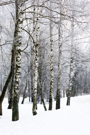 white snowy birch winter alley with row of trees snow hill photo