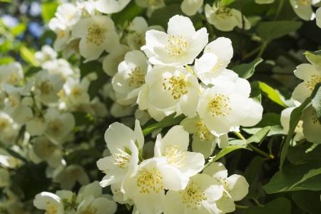 jasmine bush: jasmine white flower bush blossoms at spring Stock Photo