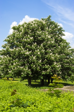 buckeye tree: Blooming chestnut tree with white flowers and blue sky