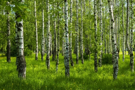 spring white birch grove and green grass photo