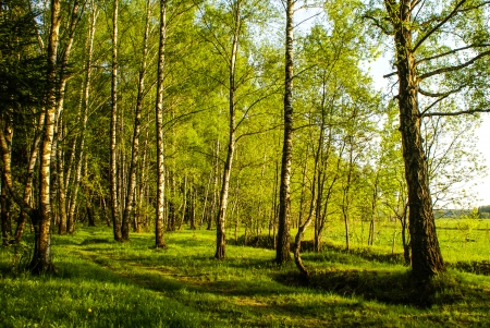 greenwood: spring white birch grove and green grass