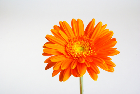 gerber: Orange flower gerber daisy on gray