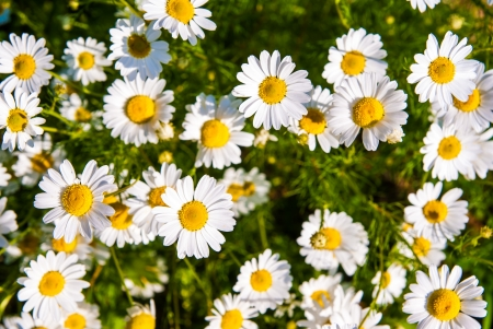 camomile chamomile daisy white green meadow background