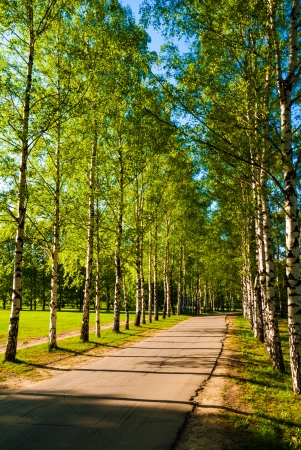 landscape row birch tree alley at spring photo