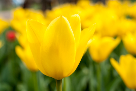 yellow tulip background photo