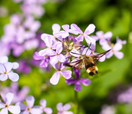 Hemaris tityus Macroglossum stellatarum, the Narrow-bordered Bee Hummingbird Hawk-moth in flight photo
