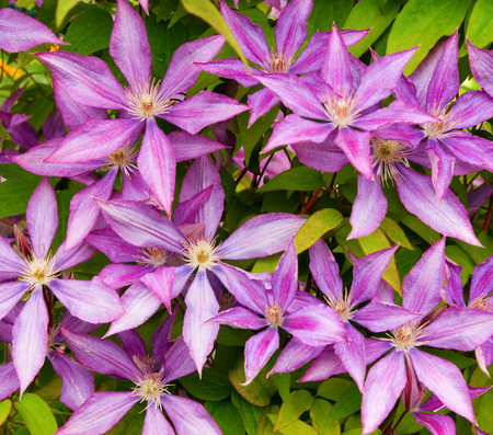 photo background of close-up blossom purple clematis flower heads