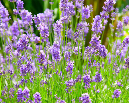 photo of blooming purple lavender flowers bush