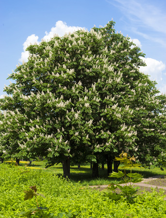 Blooming chestnut tree with white flowers and blue sky