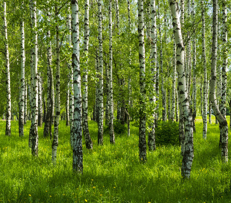 spring white birch grove and green grass