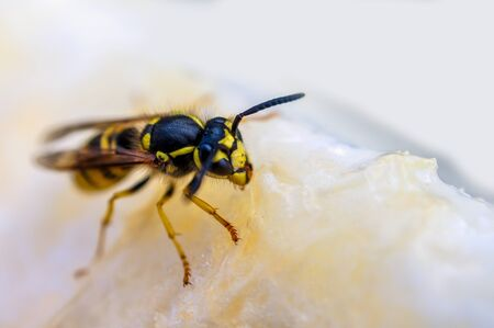 Macro shot, wasp on ice cream. Nature and insects. Stock Photo