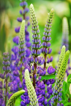 Many flowers of lupins in the field. Beautiful tall flowers in summer 免版税图像