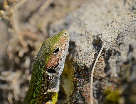 lacertidae: Sand lizard having a short rest and a sunbathe on the rocks.