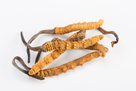 Cordyceps sinesis Yartsa Gunbu Yarsagumba himalayan gold Nepal isolated in white background Zdjęcie Seryjne