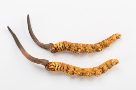Cordyceps sinesis Yartsa Gunbu Yarsagumba himalayan goud Nepal geïsoleerd op een witte achtergrond