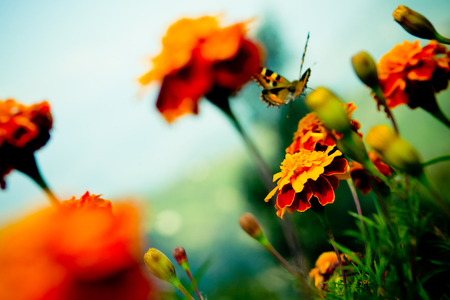 Tagetes and Buterfly fly away