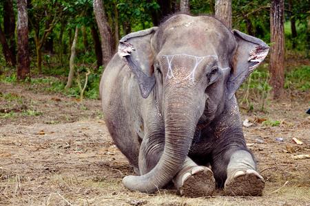 Elephant sitting portrait in Chitwan Nepal