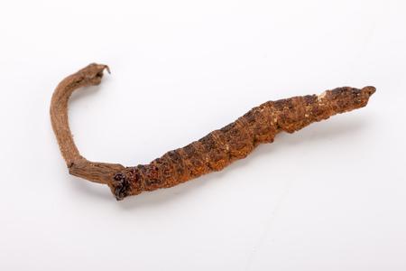 Cordyceps sinesis Yartsa Gunbu Yarsagumba himalayan gold Nepal isolated