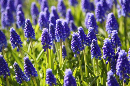 Blooming purple Muscari (Grape Hyacinth) in spring garden. Keukenhof, Netherlands. photo
