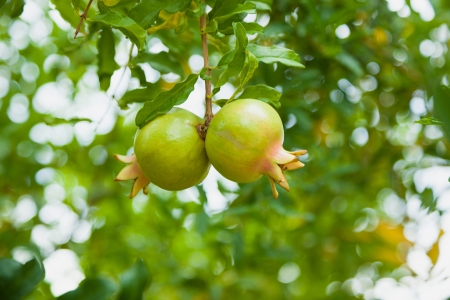 Two ripening pomegranates on a tree. The foliage on the background. Turkey. photo