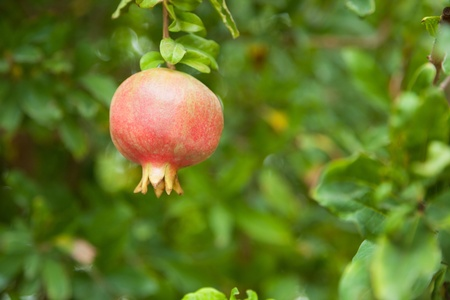 Ripening pomegranate on a tree. The foliage on the background. Turkey. photo