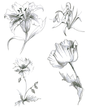 hand drawn flower: Illustration garden and wild flowers.Lilies,poppy.