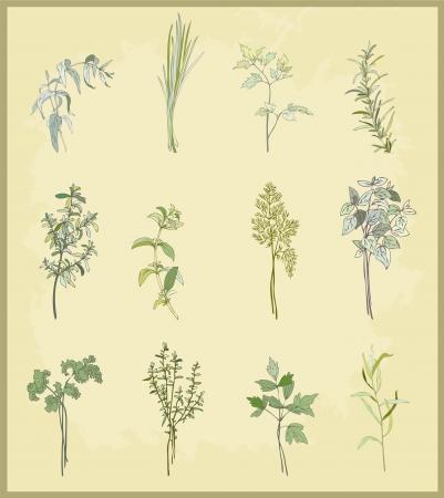 erva: Coleção de ervas frescas. Ilustração ervas aromáticas. Ilustração