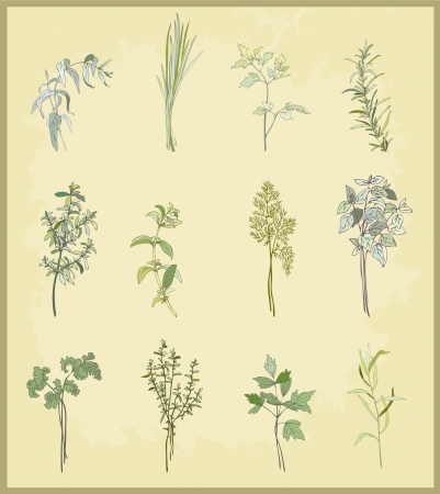 koriander: Gyűjtemény friss fűszernövényeket. Ábra fűszeres gyógynövények.