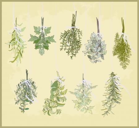 Herbes épicées. Collection d'herbes fraîches. Illustration herbes épicées. Vecteurs