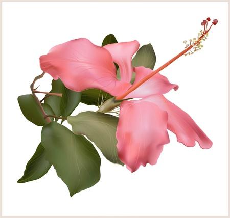 beautiful red hibiscus flower: Hibiscus ilustraci�n flor, planta, rosa, hermoso en el fondo blanco.