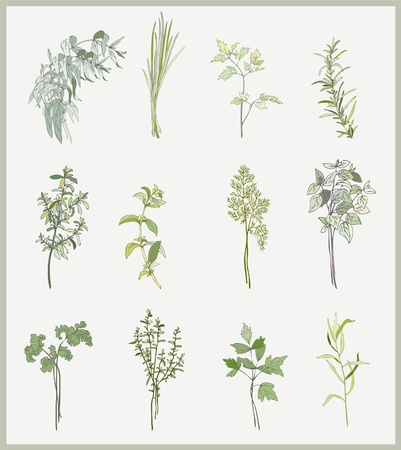 Spicy herbs. Collection of fresh herbs. Illustration spicy herbs.