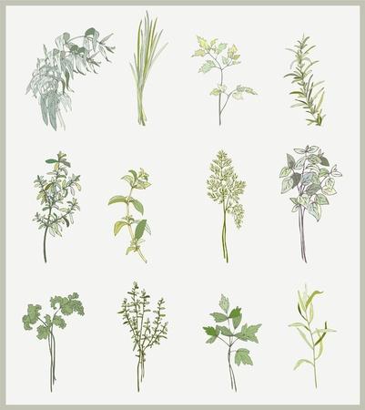 koriander: Fűszeres gyógynövények. Gyűjtemény friss fűszernövényeket. Illusztráció fűszeres gyógynövények.