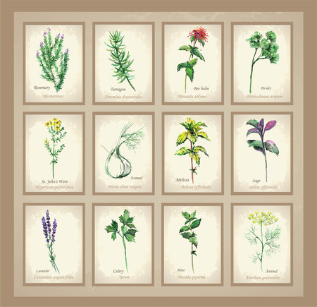 Illustration Spicy and curative herbs. Collection of fresh herbs. Icon.                                        Çizim