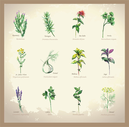 Illustration Spicy and curative herbs. Collection of fresh herbs. Icon.