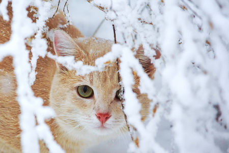 Beautiful ginger cat sitting in the garden in the winter for the snow branches