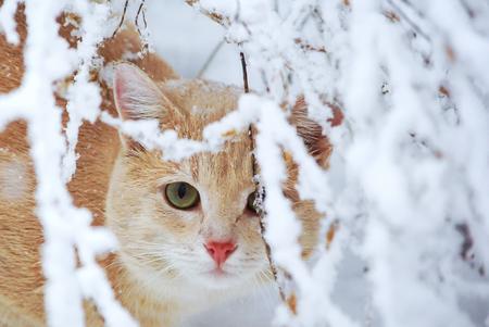 Schöne Ingwerkatze, die im Garten im Winter für die Schneeniederlassungen sitzt