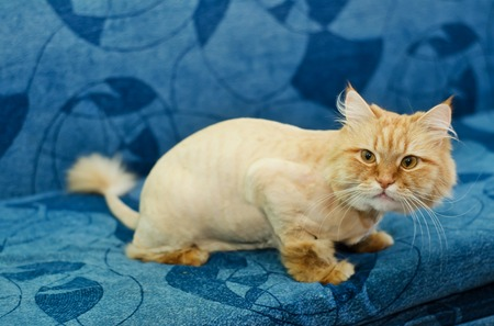 Red-haired cat with a tassel on the tail sitting on a blue sofa
