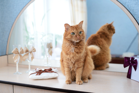 Big red cat next to the mirror on the wedding day