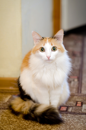 Beautiful fluffy white-haired cat sitting gravely at home Stock Photo