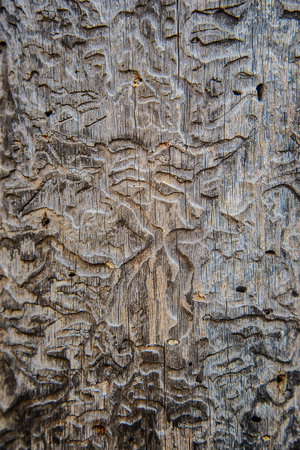 Unusual textured rough texture of the old wood, eaten by bark beetle