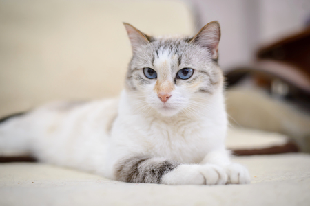 Beautiful white cat with blue eyes lies on the couch stretching out his front paws
