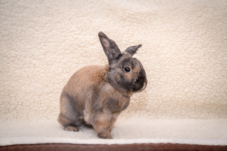 Adult brown rabbit sitting on the couch on light fur blanket Stock Photo