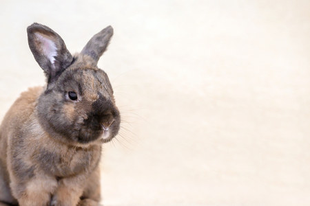Adult brown rabbit sitting on the couch on light fur blanket with copy space Stock Photo