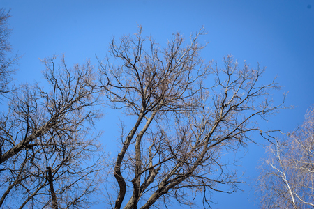 The bare branches of trees on blue sky background in early spring
