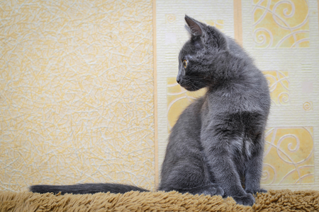Gray kitten sitting on the back of the couch and interested looks to the side