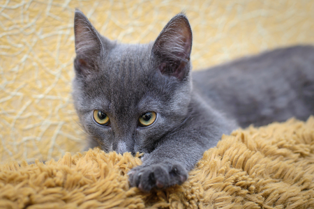 sucks: Grey funny cute kitten sucking on wool brown blankets thinking that is his mother Stock Photo
