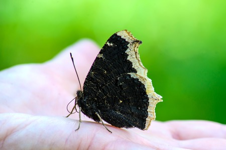 A large black butterfly mourning cloak with folded wings sits on her hand Archivio Fotografico - 109477773