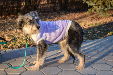 Portrait of a shaggy dog mongrel in clothes on a walk in the park on a sunny day